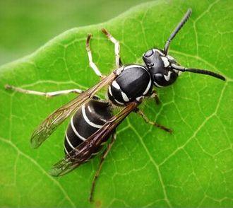 筆者の額を刺した地蜂(黒スジメバチ)